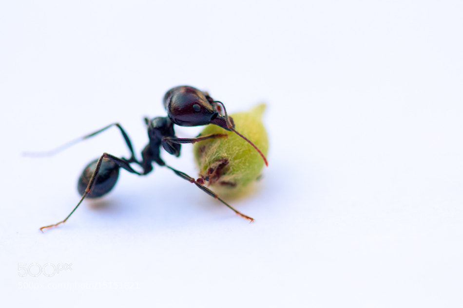 Photograph Ant by Anita Stargardt on 500px