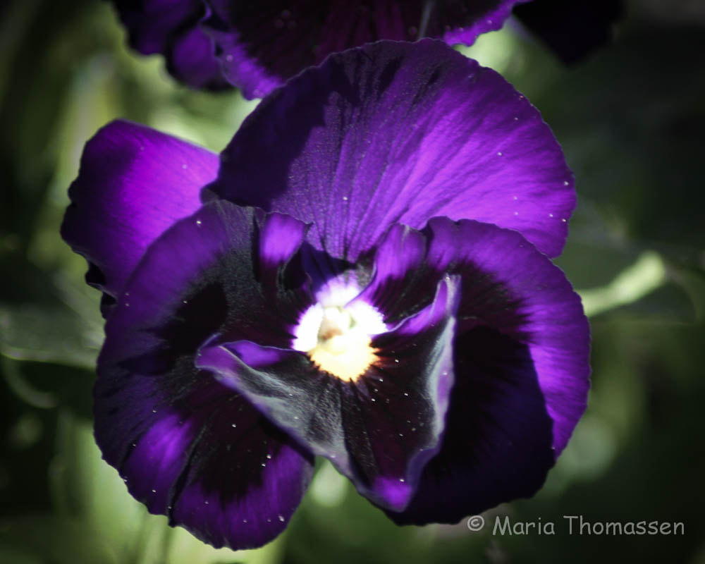 Photograph Violet she said by Maria  Thomassen on 500px