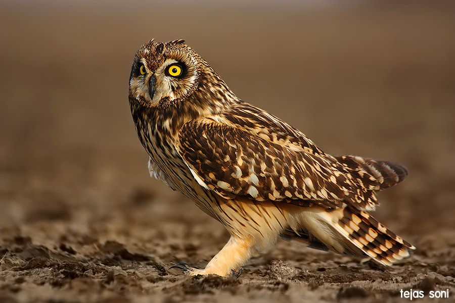 Photograph Short eared owl by Tejas Soni on 500px