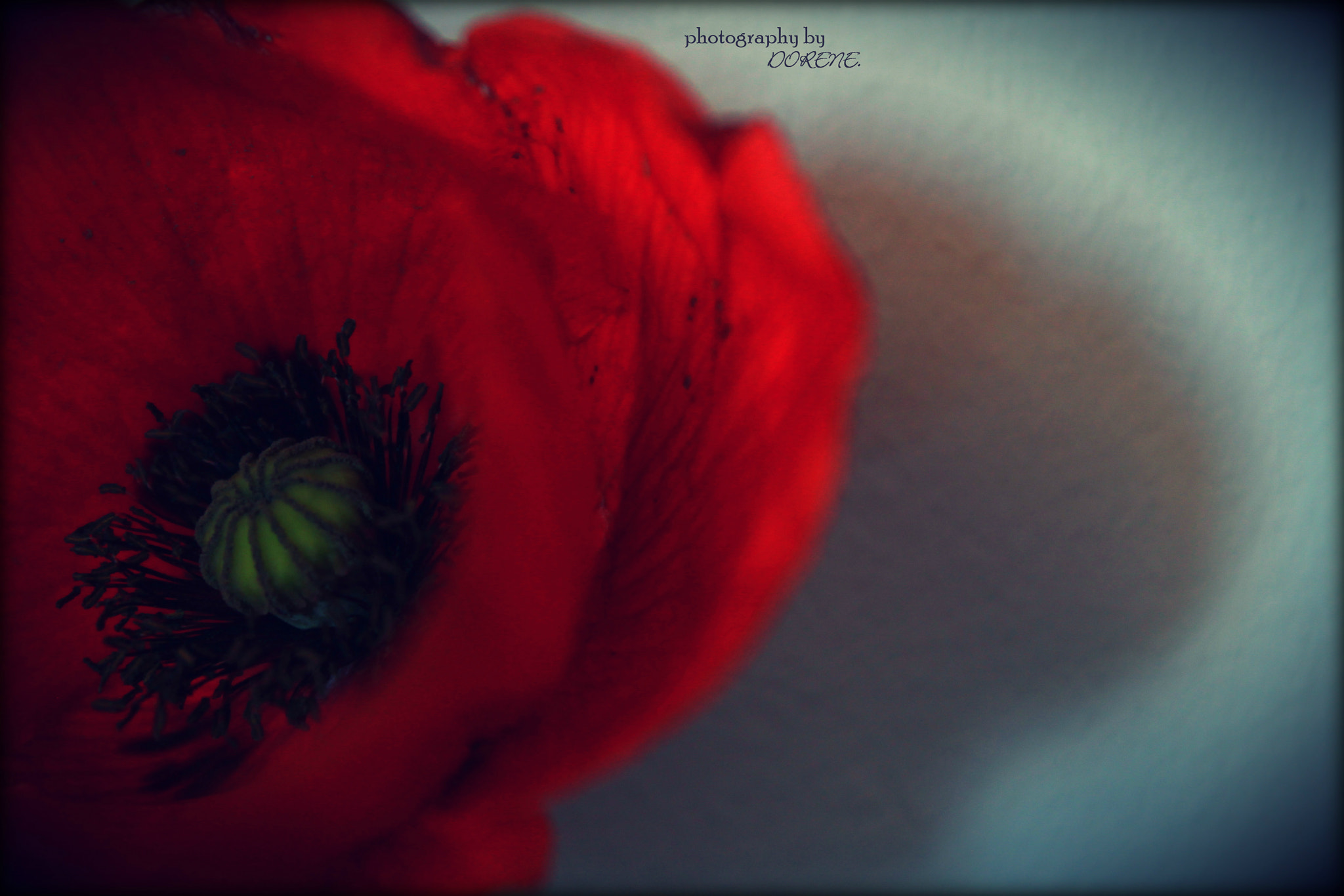Photograph Coquelicot. by Photography by Dorene. on 500px