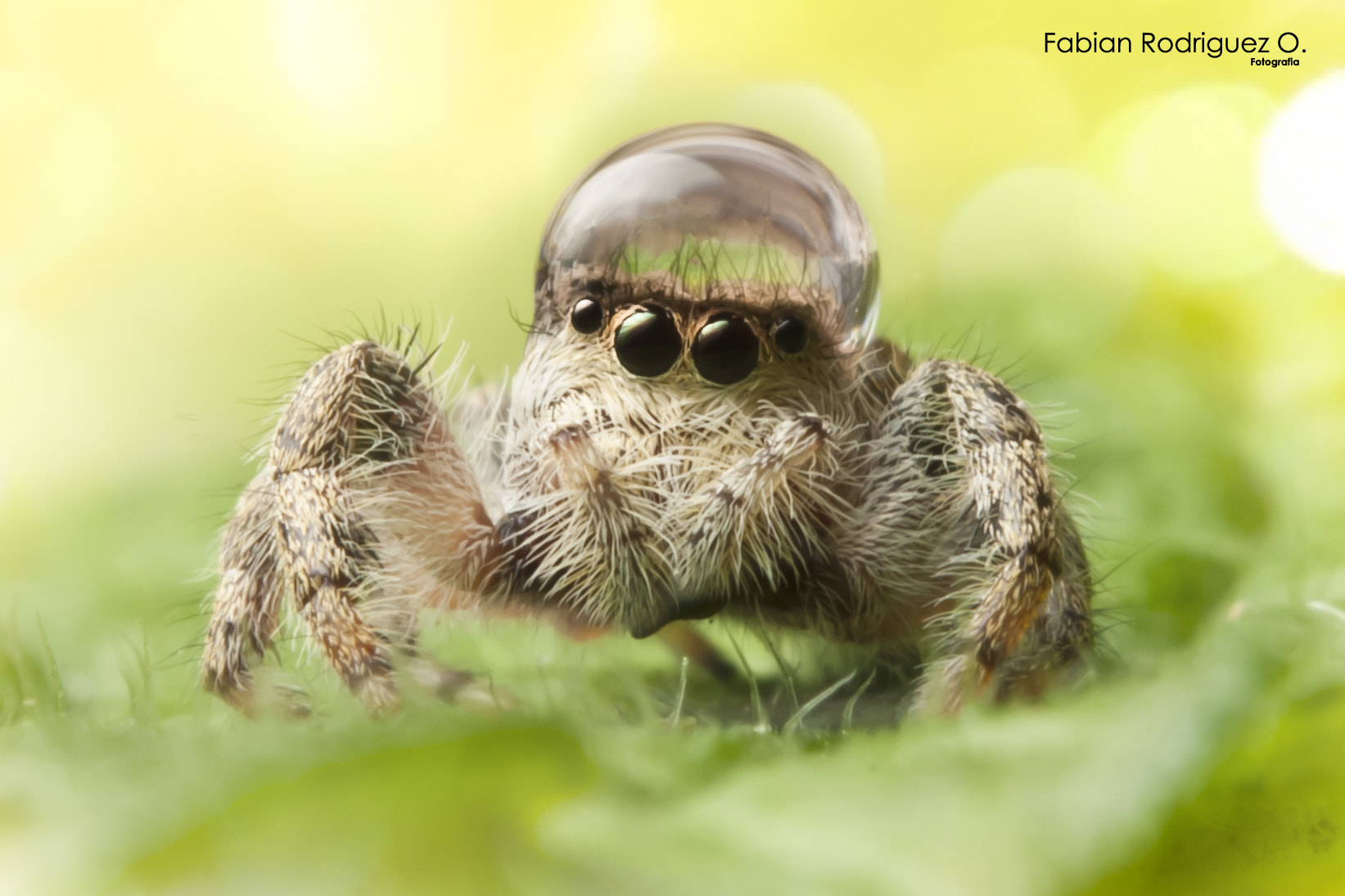 Photograph Female Phidippus Clarus with a drop by Fabian Rodríguez on 500px