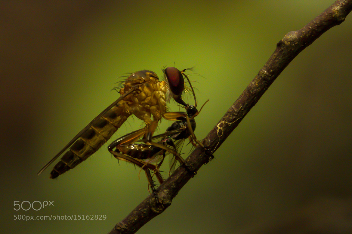Photograph Robberfly with its prey by Liza Rosalina on 500px