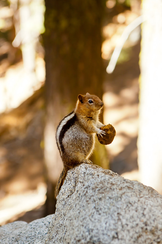 Photograph Golden Mantled Ground Squirrel by Kira Stackhouse on 500px
