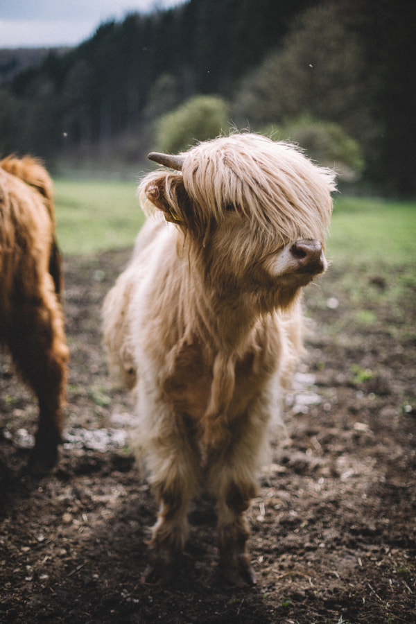 Need a haircut like this cow. by Johannes Hulsch on 500px.com