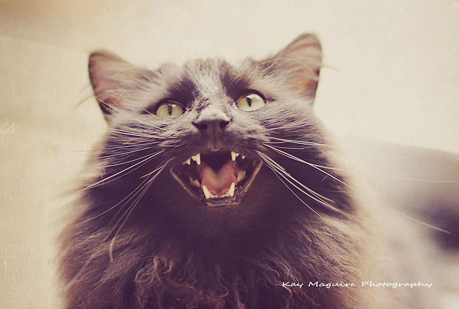 Photograph I am Pookie - Hear me Roar by Kay Maguire on 500px