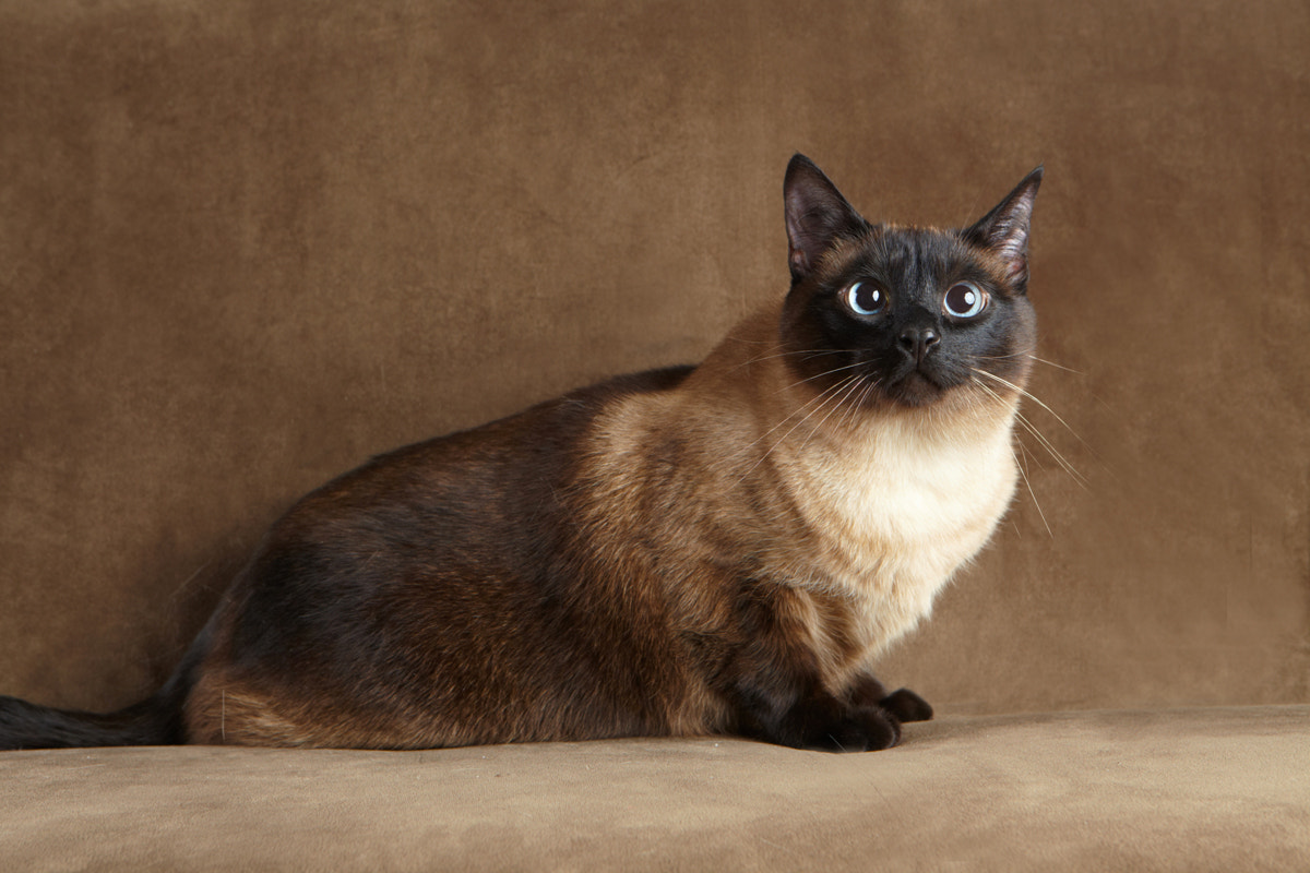 Photograph Siamese by Kira Stackhouse on 500px