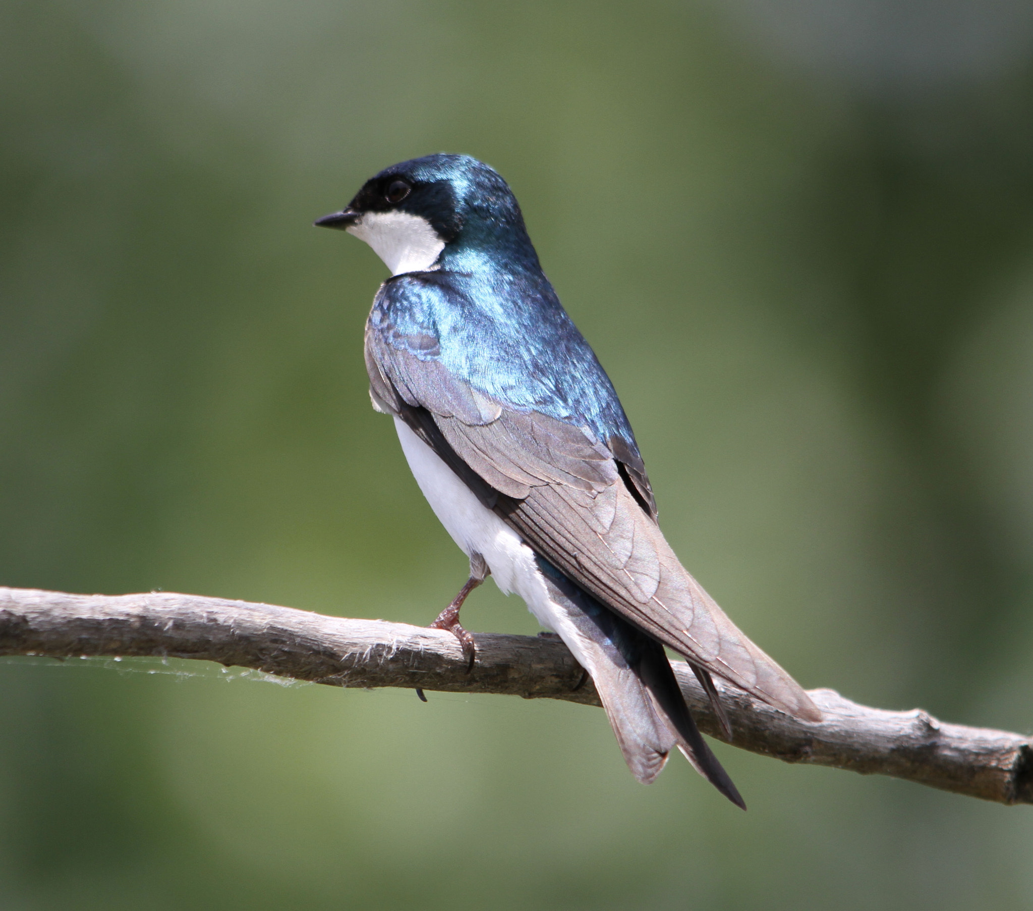 Photograph Tree Swallow by Scott Dodgson on 500px