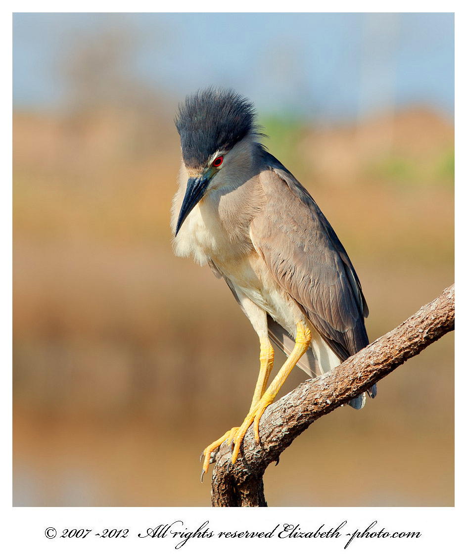Photograph Black-crowned Night Heron  by Elizabeth  E. on 500px