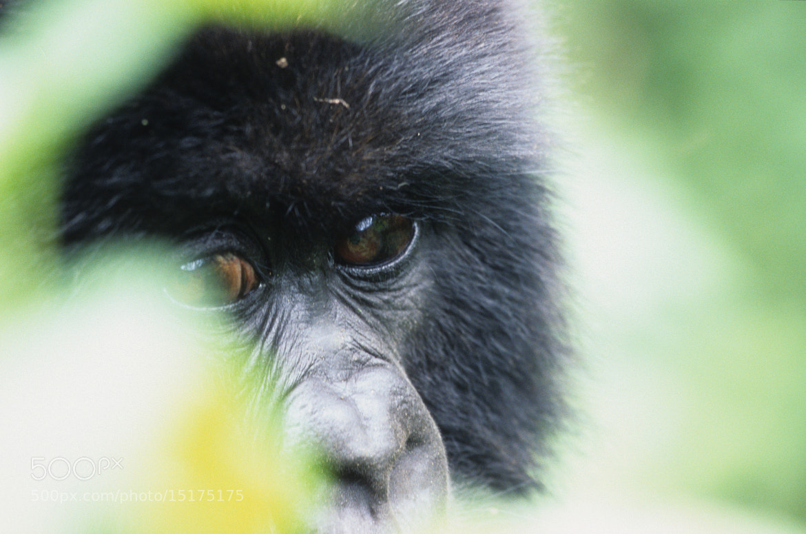 Photograph Young mountain gorilla by Cornelia Braun on 500px