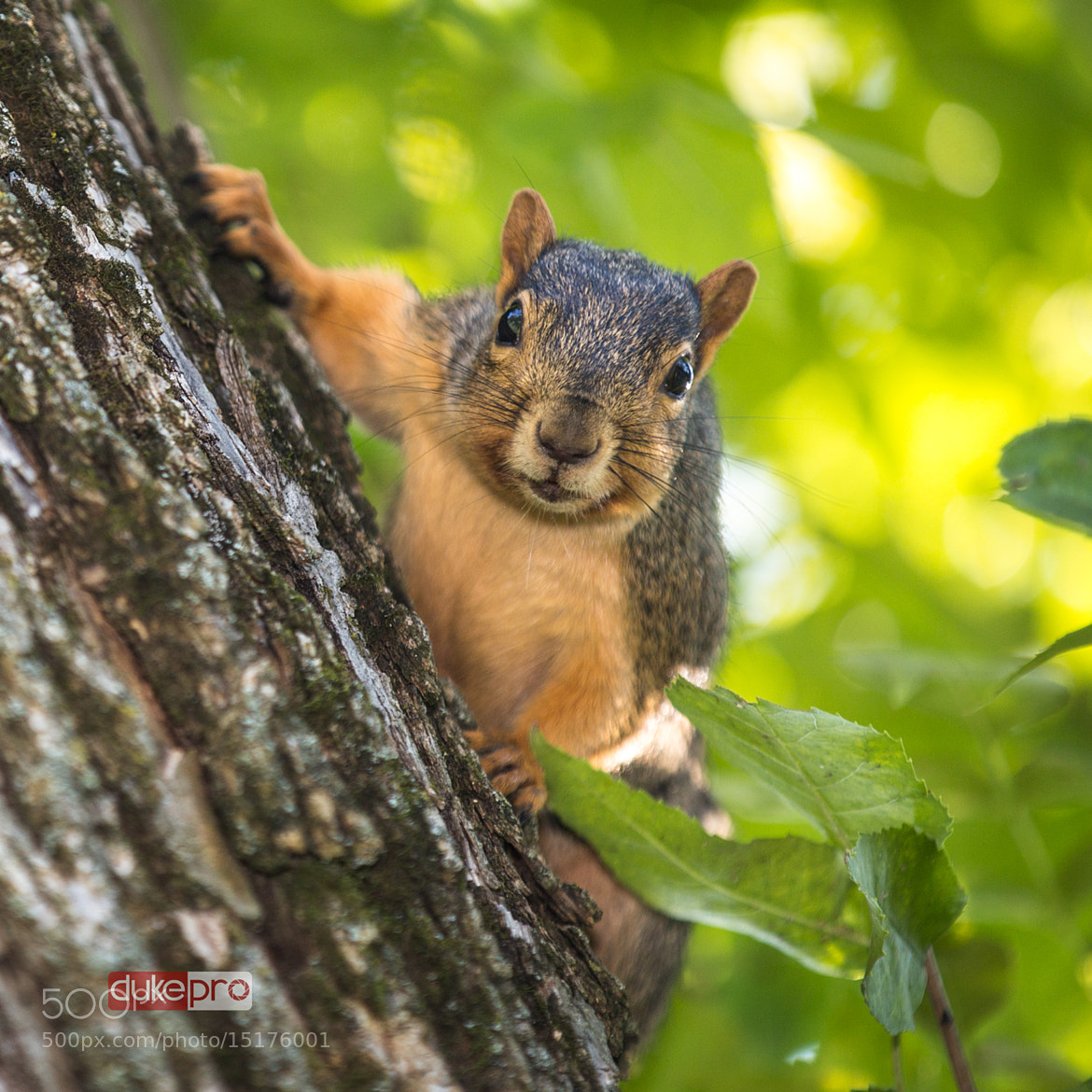 Photograph Squirrel On The Tree  by DUKEGRAPHY STUDIO on 500px