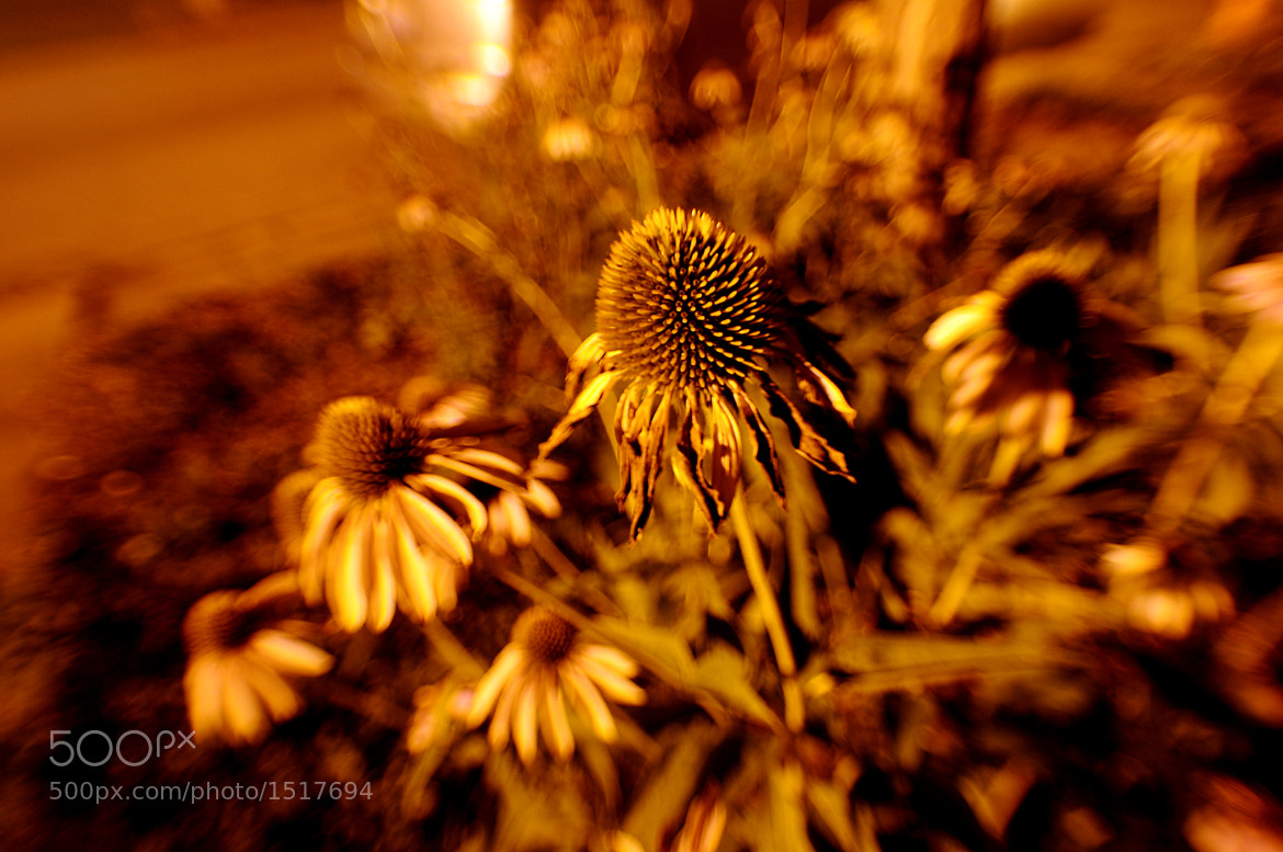 Photograph nocturnal: daisy by William Kolb on 500px
