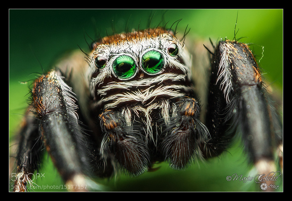 Photograph Evarcha arcuata male jumping spider by Mario Čehulić on 500px