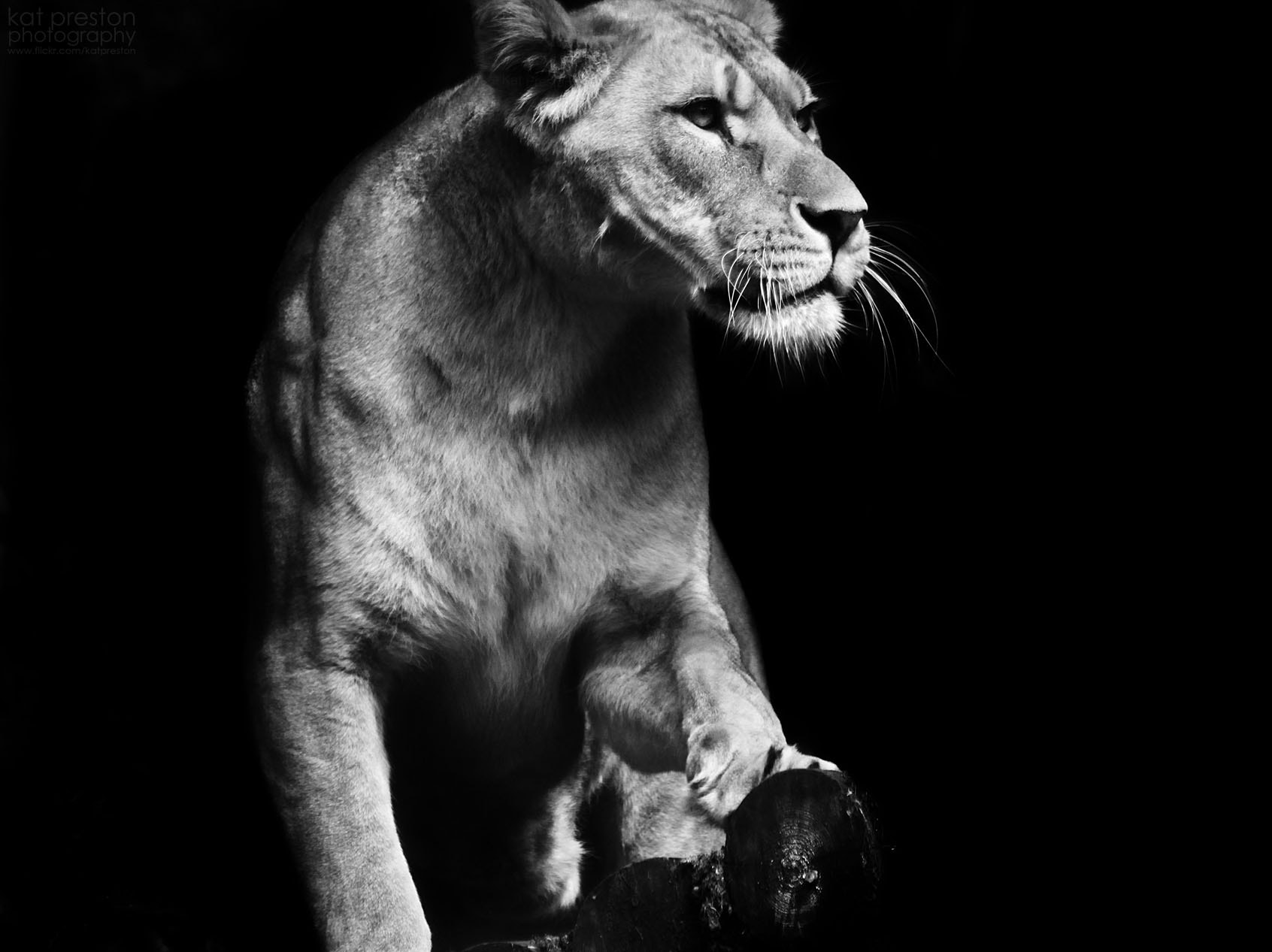 Photograph Barbary Lioness by Kat Preston on 500px