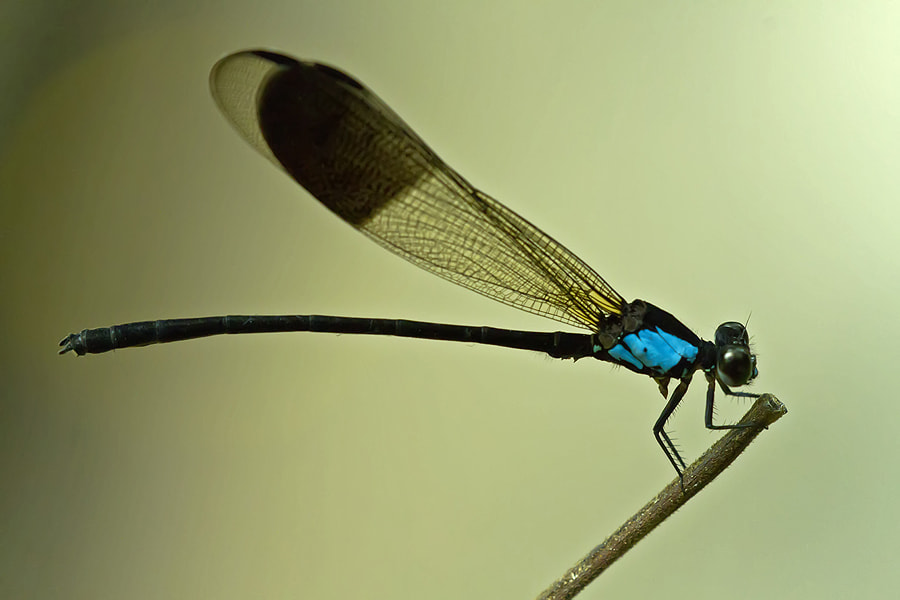 Photograph Dragonfly by Erwin Julian Lie on 500px