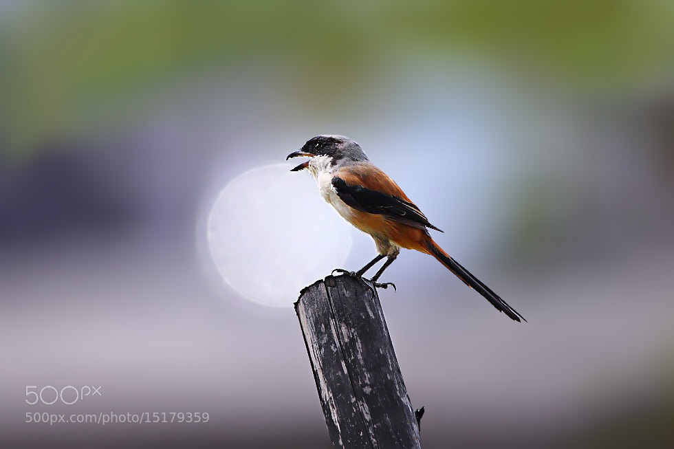 Photograph Rufous-backed Shrike by Dajan Chiou on 500px