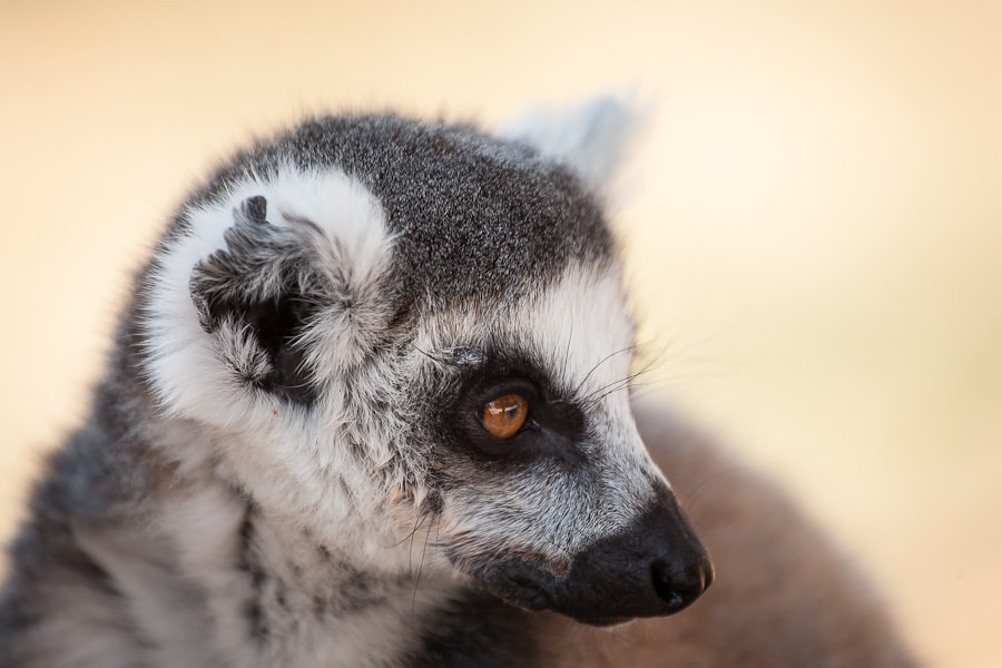 Photograph Lemur catta by Stavros Markopoulos on 500px