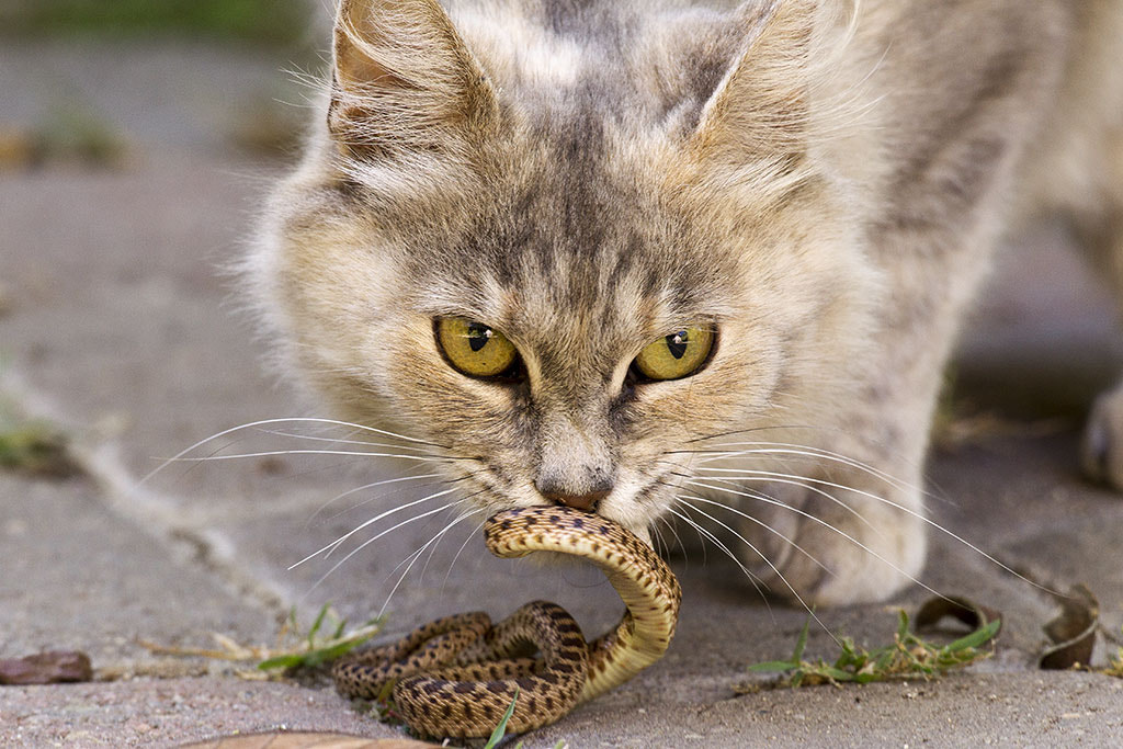 Photograph Cat with snake by Elliot Lowe on 500px