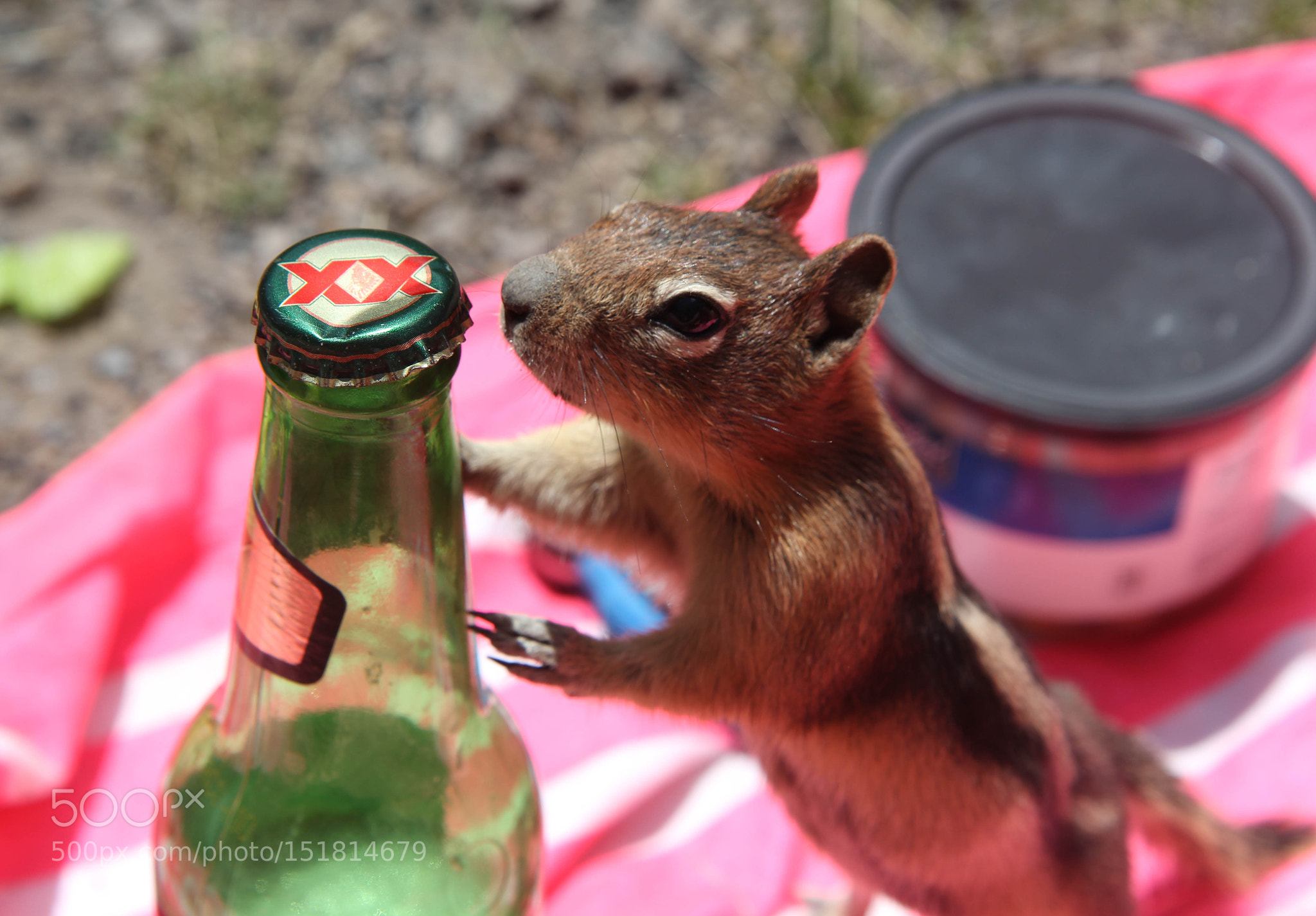 A chipmunk's love for Dos Equis
