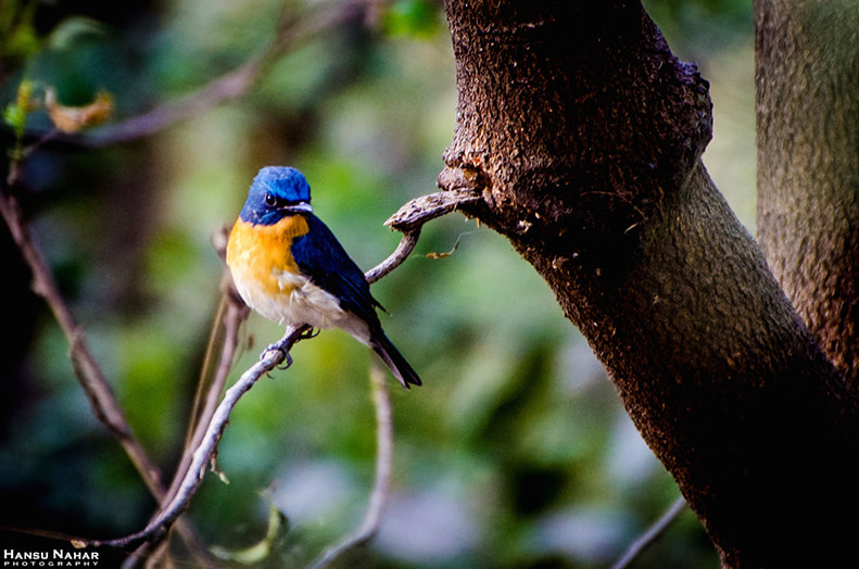 Photograph Tickell's Blue Flycatcher by Hansu Nahar on 500px