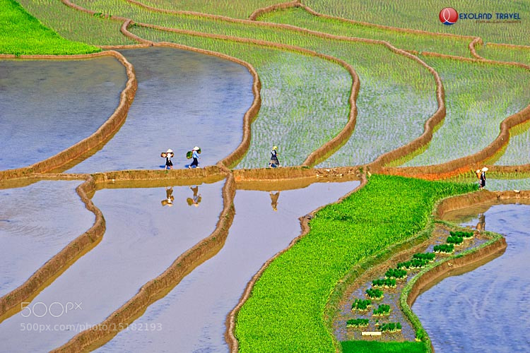 Photograph Rice field - Vietnam by Hai Nguyen on 500px