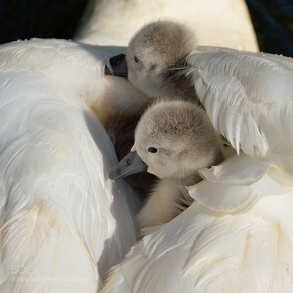 Photograph little swans... by Corinne Cornelissen on 500px