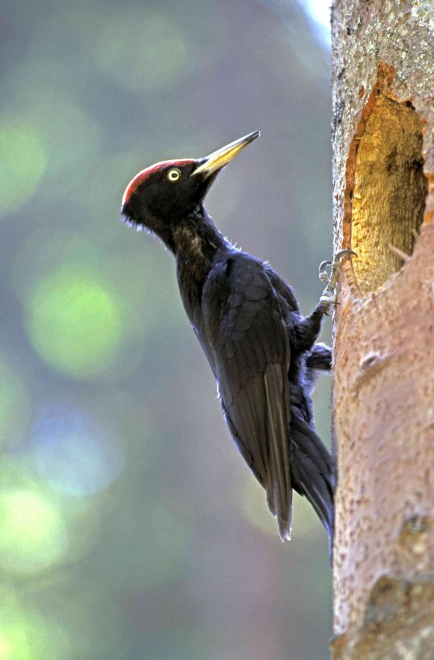 Photograph A Black woodpecker - Picchio nero by Silvano Fabris on 500px