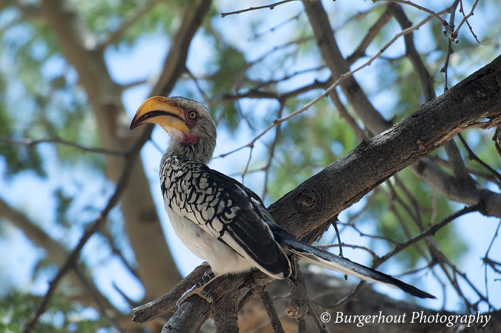 Photograph Hornbill, Namibia by Guy Burgerhout on 500px