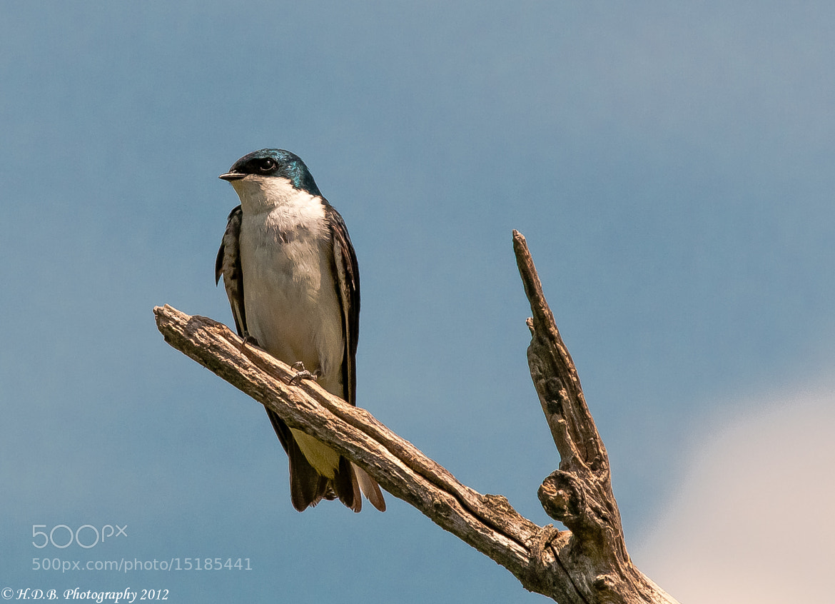 Photograph Tree Swallow (Male) by Harold Begun on 500px