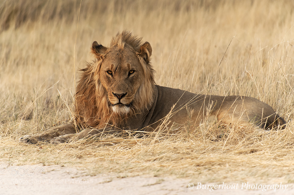 Photograph Lion, Namibia by Guy Burgerhout on 500px