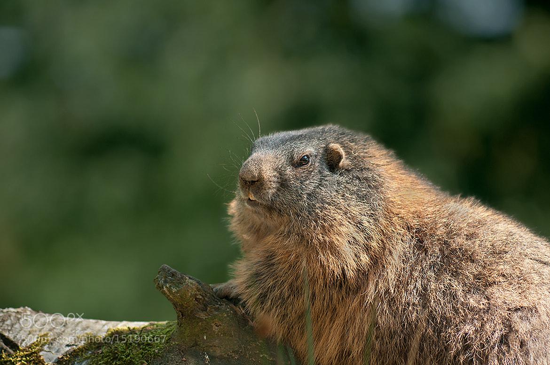 Photograph Marmot by Rob Janné on 500px
