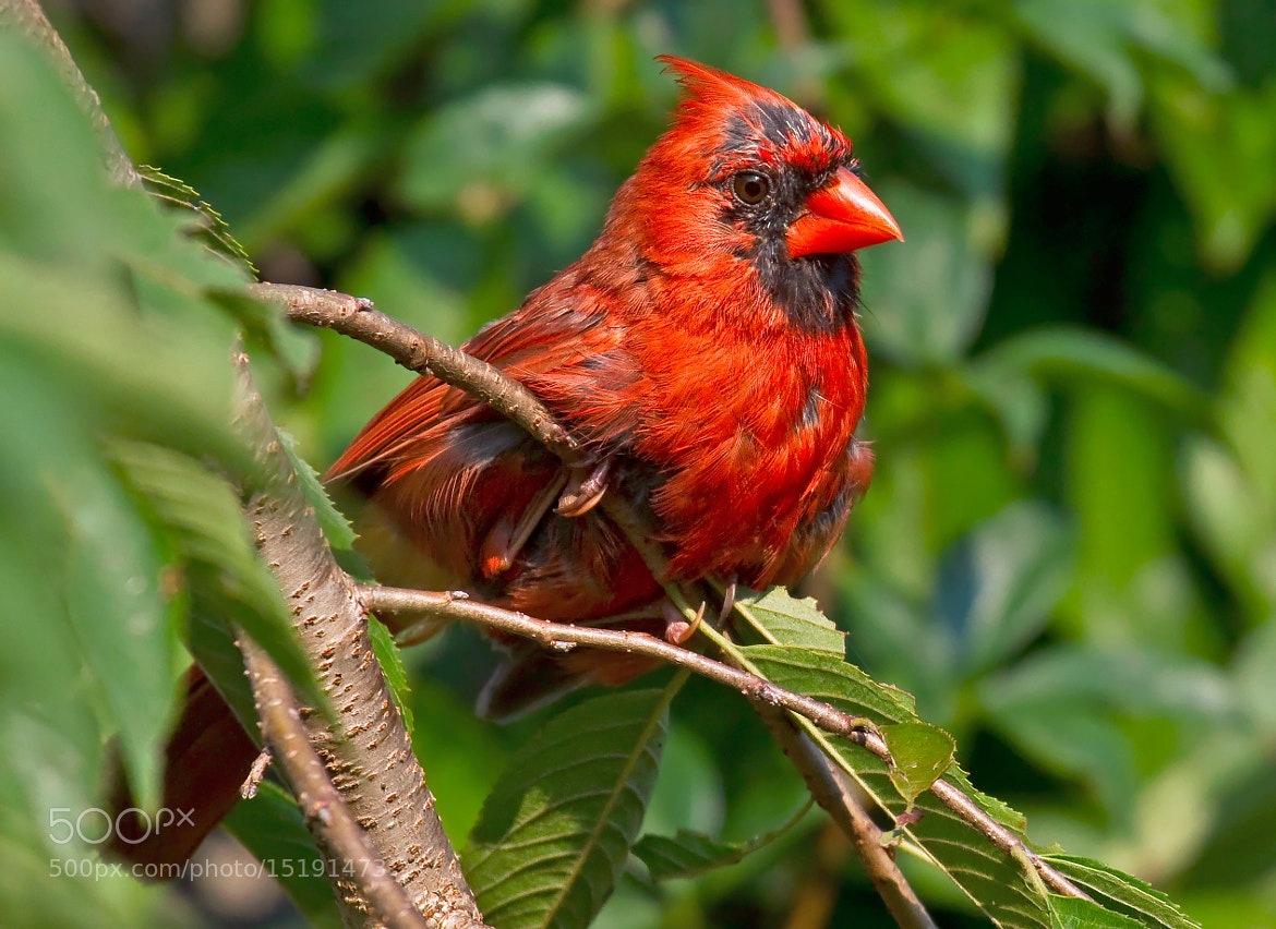 Photograph Scruffy Cardinal by Lorraine Hudgins on 500px