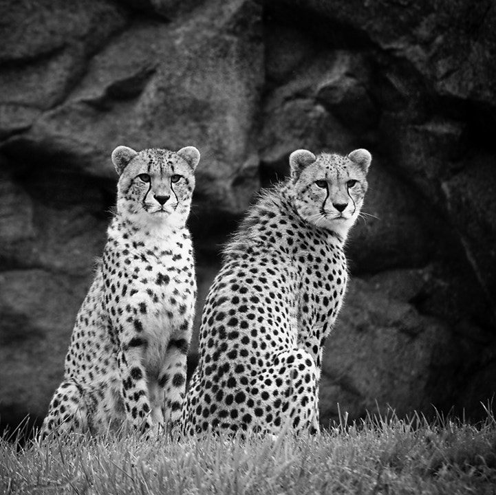 Photograph cheetahs by Leisa Hennessy on 500px