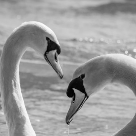Swans B&W