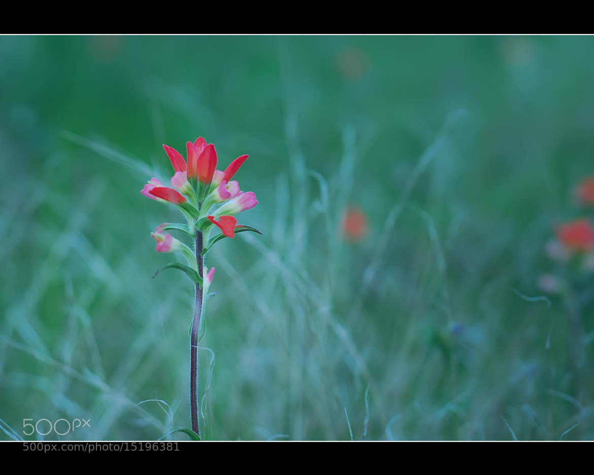 Photograph Indian Paintbrush by Joe Andrews on 500px
