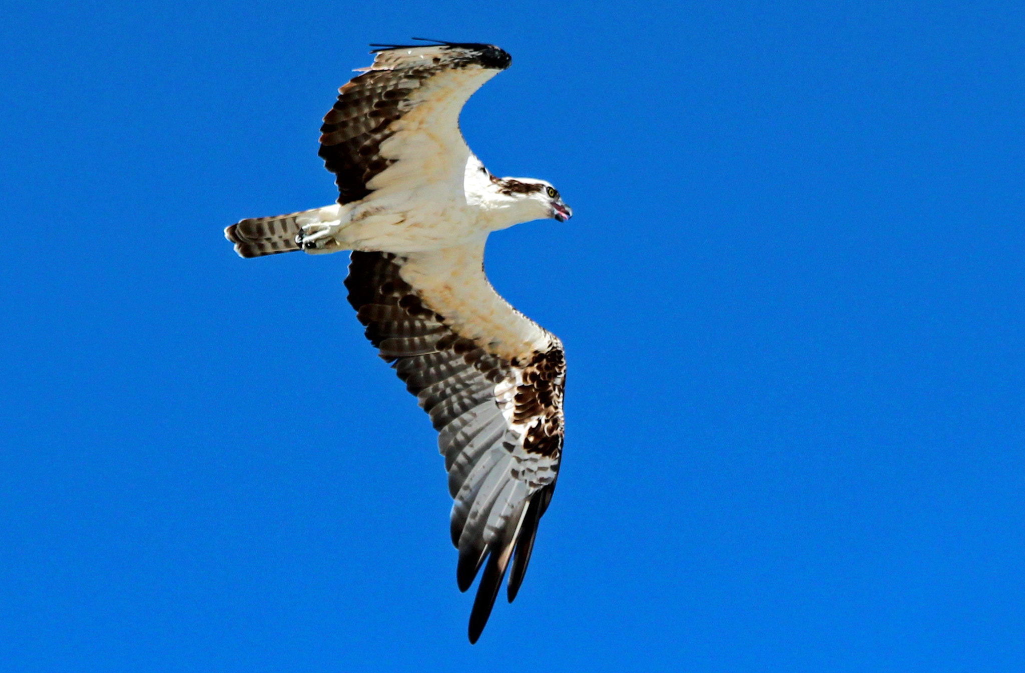Photograph OSPREY BY THE SEA by robin ulery on 500px