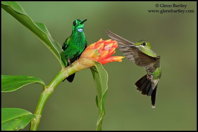 Photograph Green-crowned Brilliant (Heliodoxa jacula) by Glenn Bartley on 500px