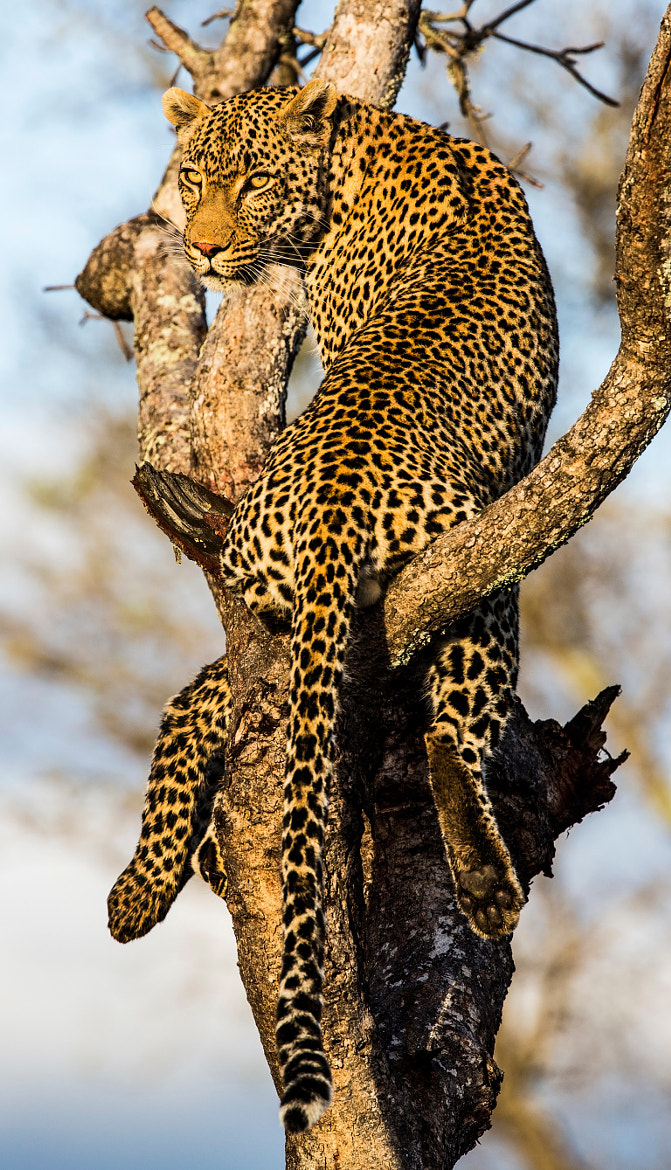 Photograph A killer's stare by Guy Ellis on 500px