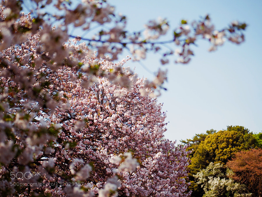 Sakura wave, Olympus E-PM2, Lumix G 42.5mm F1.7 Asph. Power OIS