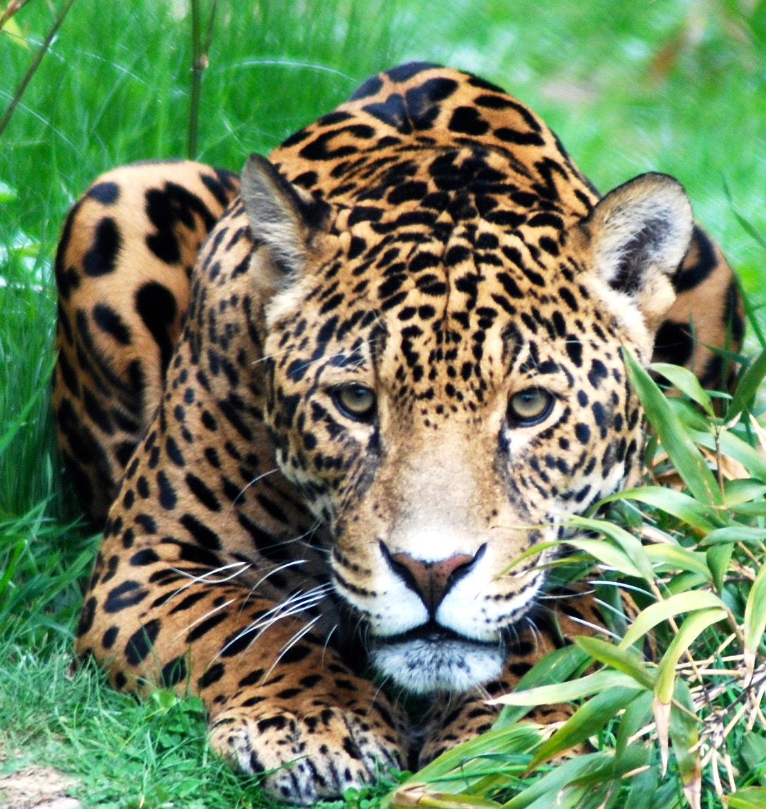 Photograph jaguar by tony martin on 500px