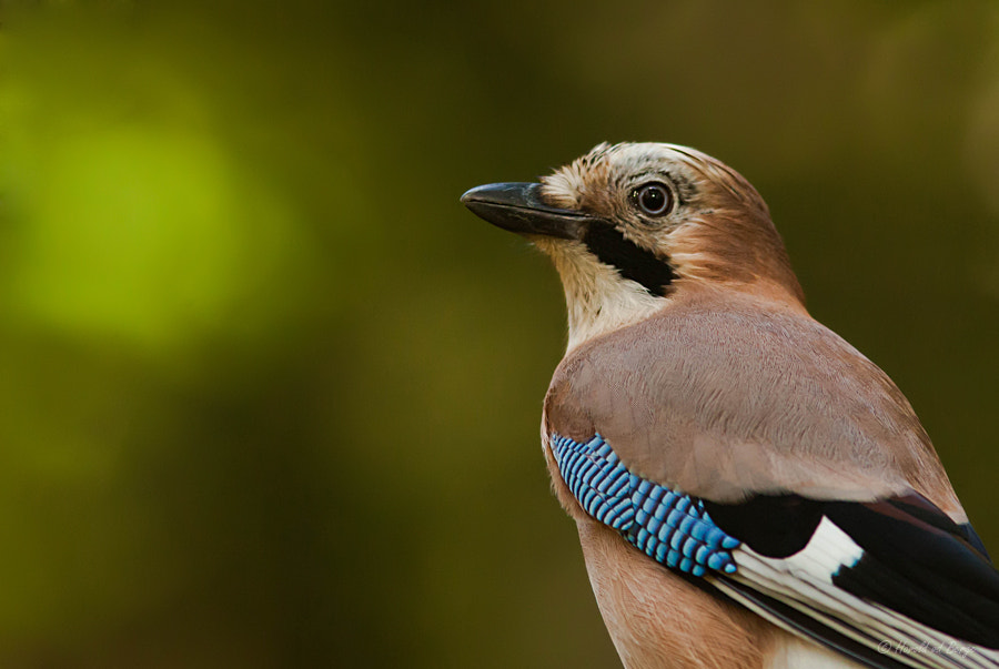 Photograph Eurasian Jay by Harold van den Berge on 500px
