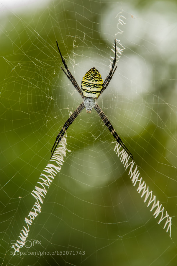 Signature Spider by niravmehta23