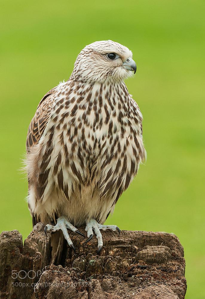 Photograph Saker Falcon (c) by Geoffrey Baker on 500px