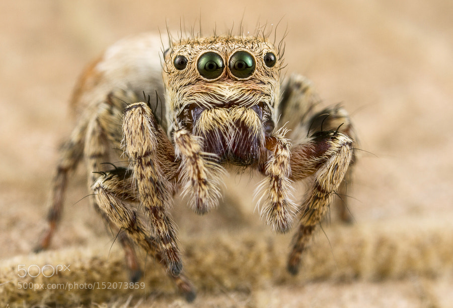Jumping spider by asherlwin