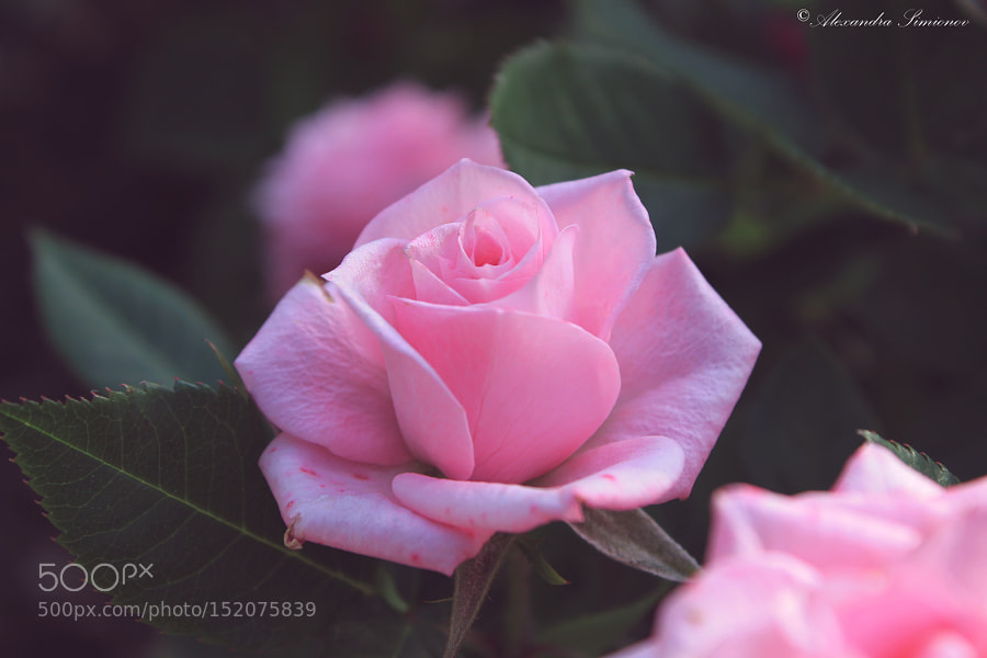 Rose by AlexandrraSimionov