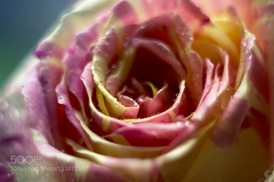 Yellow – pink rose by mne9let