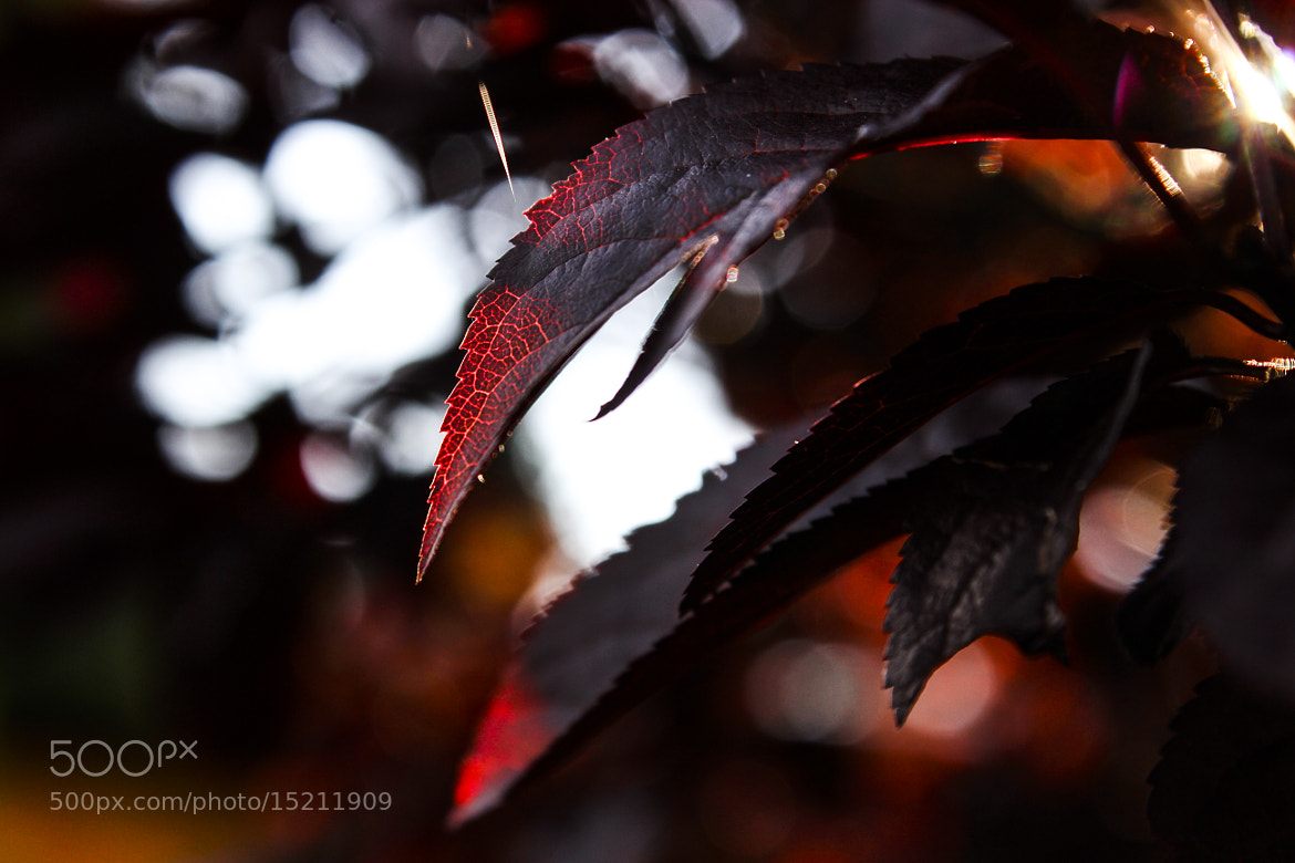 Photograph Blood Red by Pascal Herrmann on 500px
