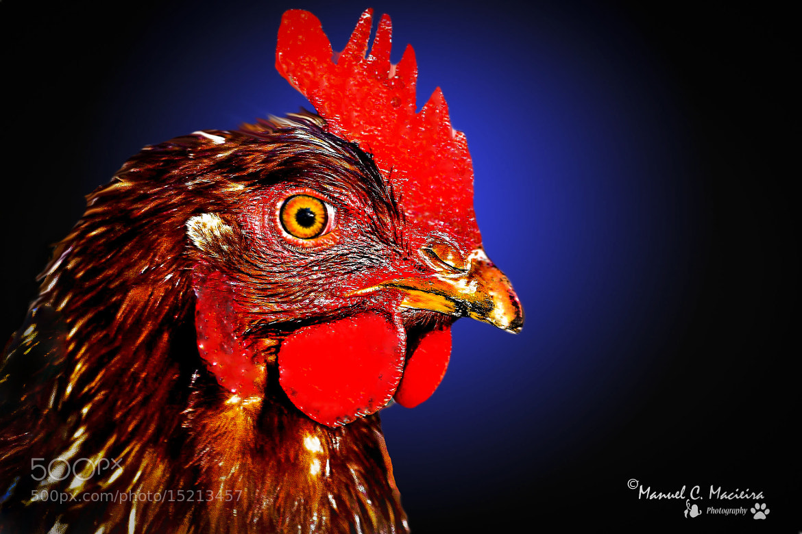 Photograph Rooster by Manuel Correia Macieira on 500px