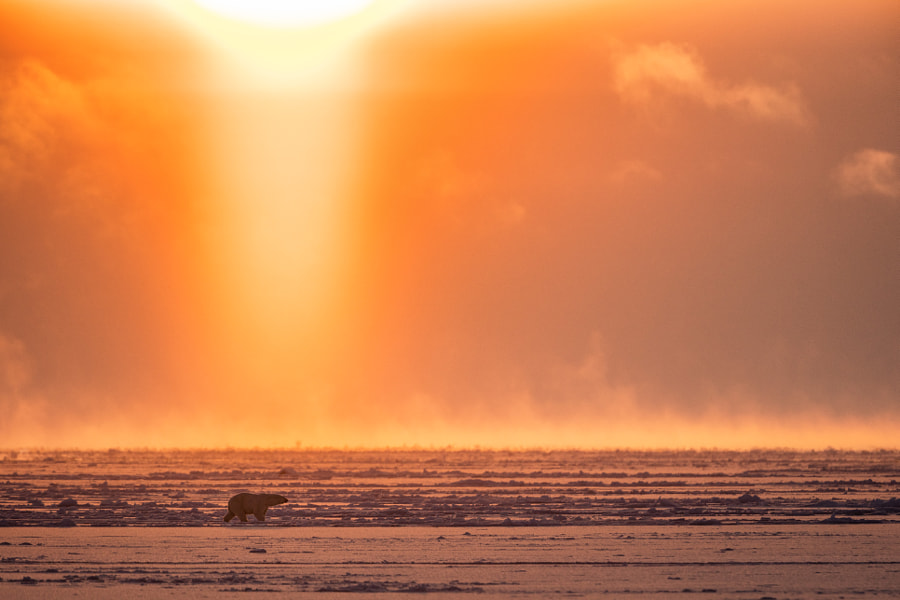 Polar Bear Under the Midnight Sun by Josh Anon on 500px.com