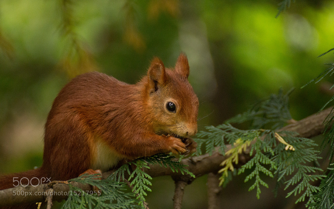 Photograph Squirrel by Nico Hirsch on 500px