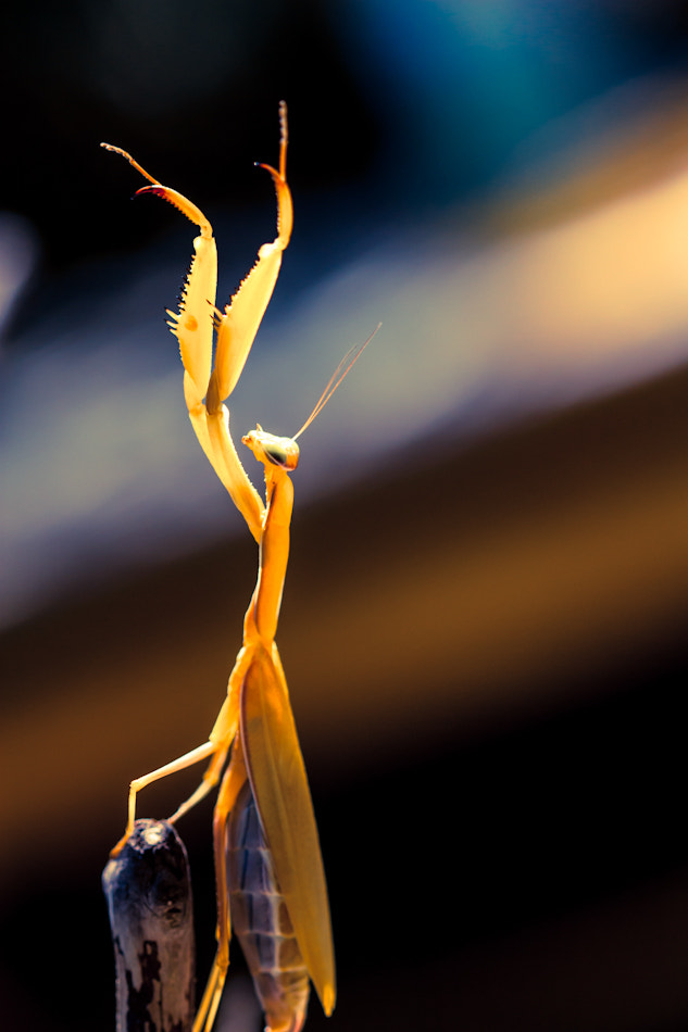 Photograph Praying Mantis by Anita Stargardt on 500px